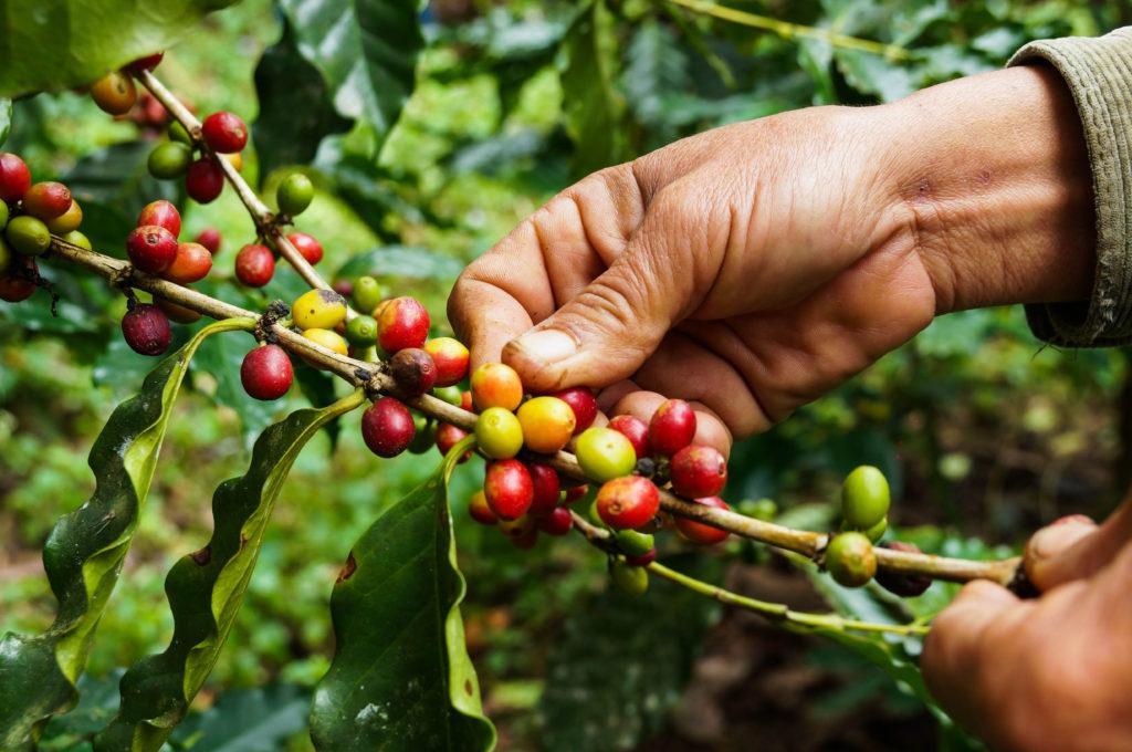 Farmer harvesting Brazilian coffee beans - Minas Espresso Inc