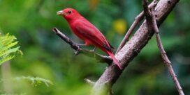 Panamá Bird Festival celebrará sus dos jornadas de prelanzamiento del 24 al 25 de octubre