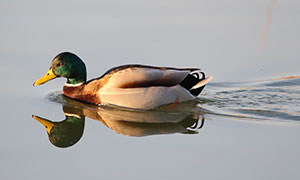 Waterfowl