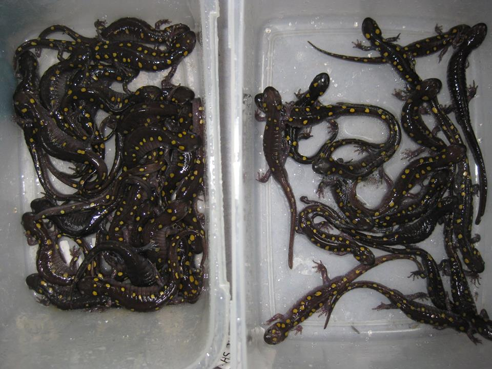 salamanders trapped in 2013