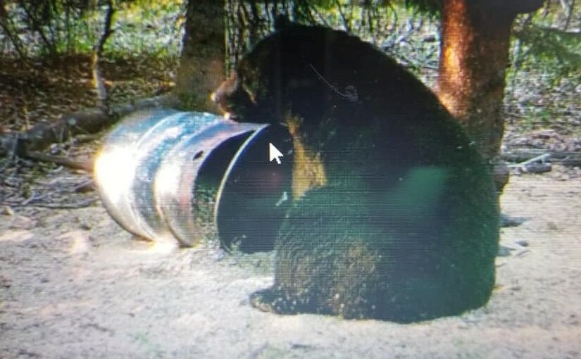 Our trophy black bear hunts are unequaled for size and quality of bears!