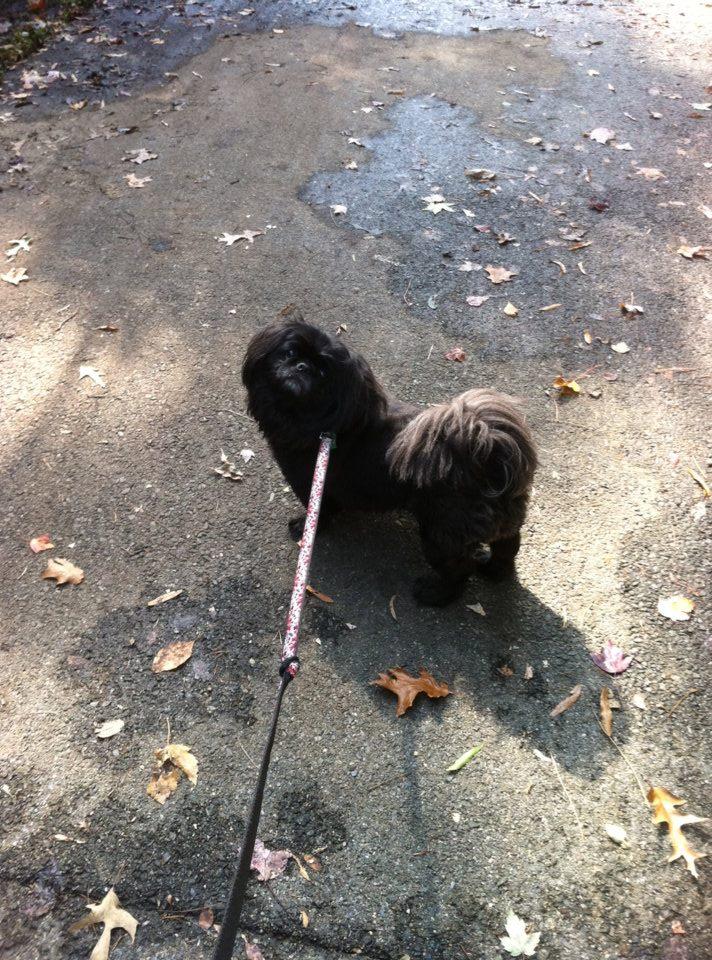 dog walking on leash