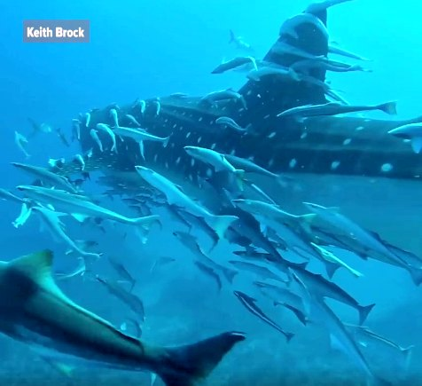 Whale Shark Spotted off West Palm Beach