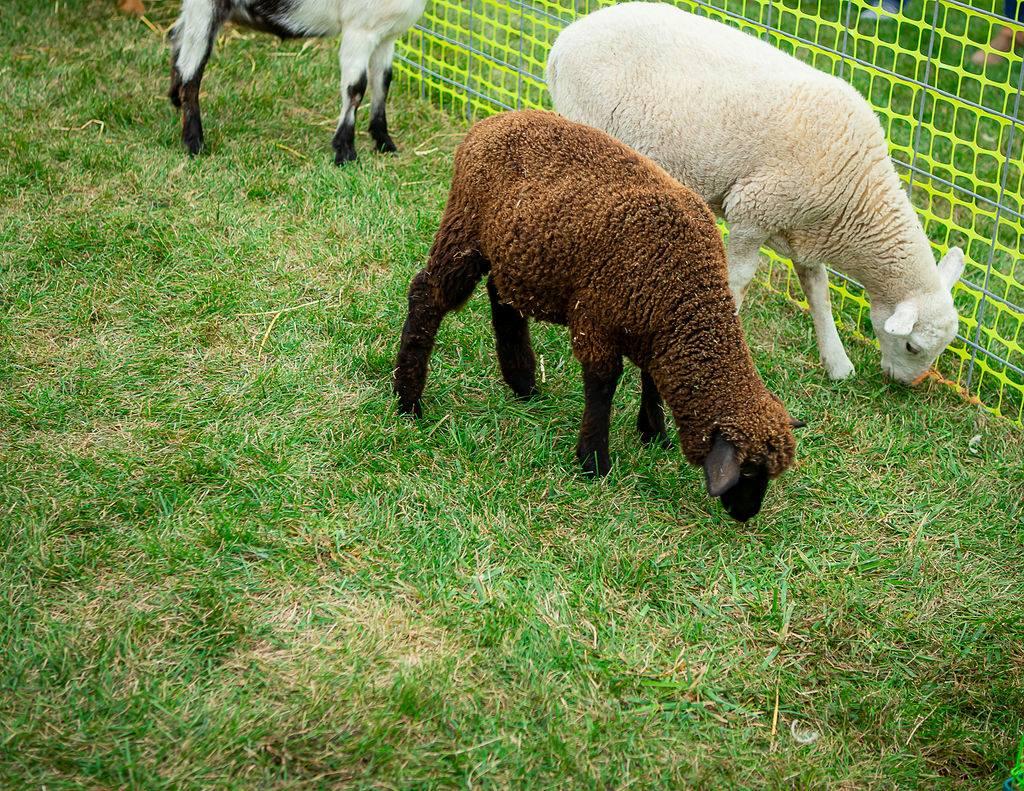 sheep at the petting zoo