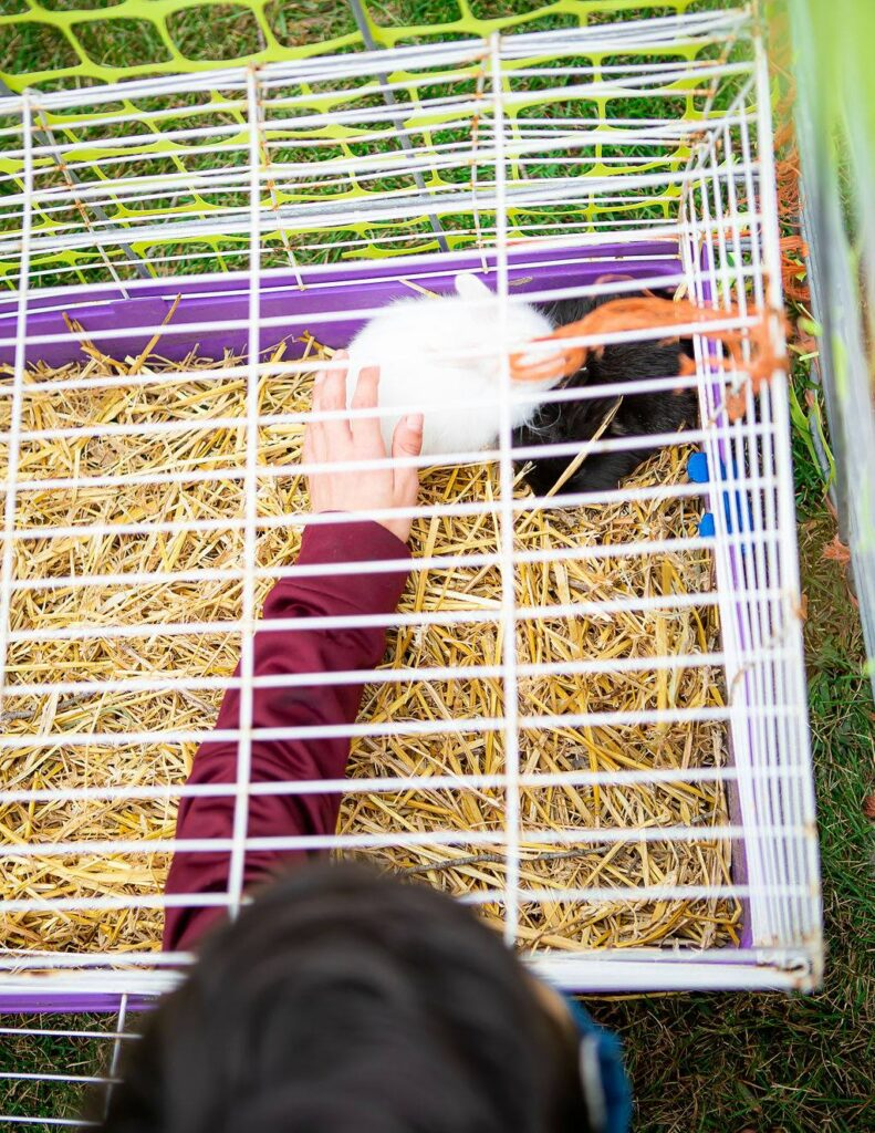 guinea pig at the petting zoo