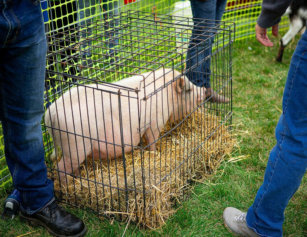 pig at the petting zoo