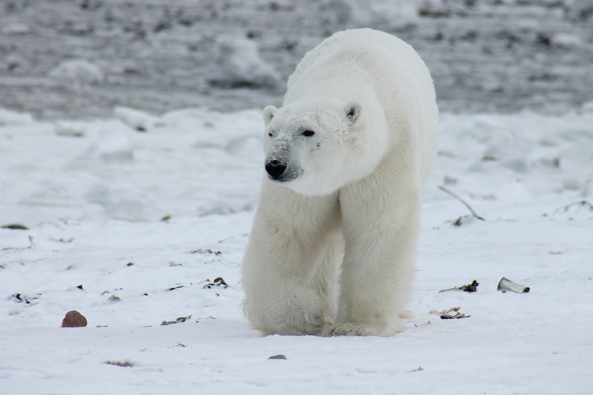 estinzione orso polare