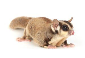 Sugar gliders are treated at Wellesley Exotic Pet Vets Henrico County VA