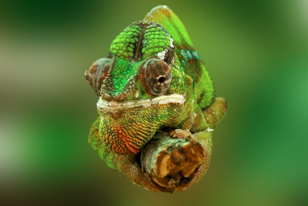 close up of chameleon treated at Wellesley Exotic Pet Vet Richmond, VA