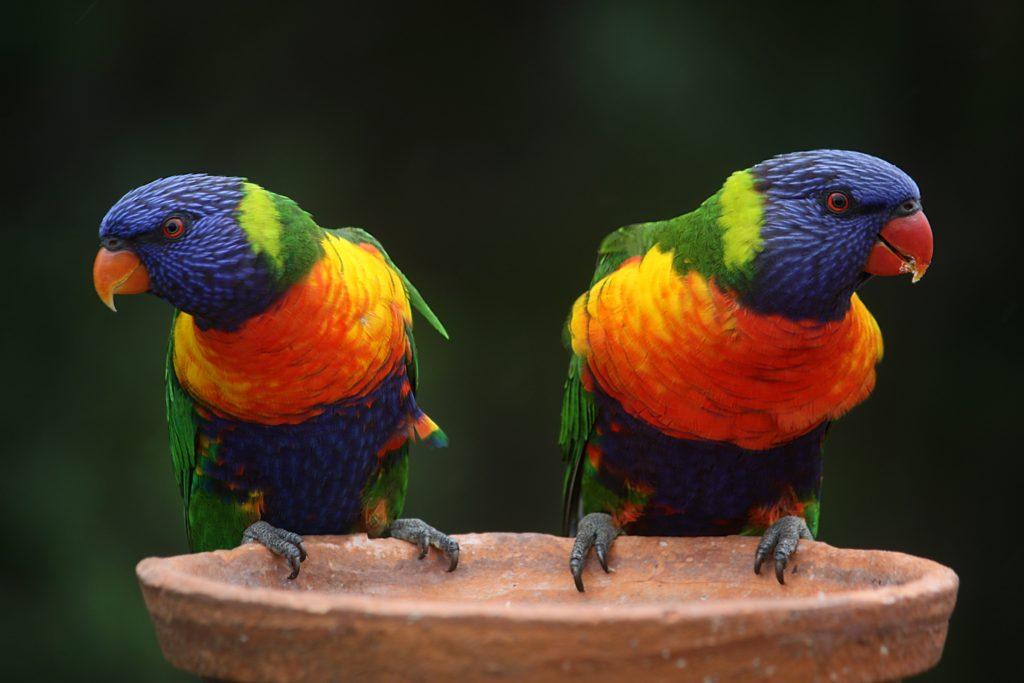 rainbow-lorikeet-parrots