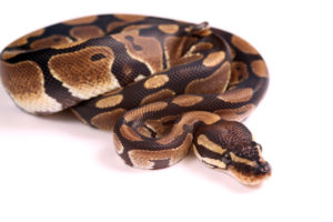 Royal Ball Python at Wellesley Exotic Pet Vet Richmond