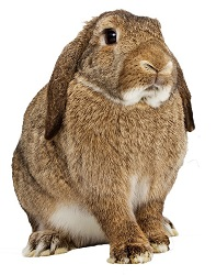cute long eared rabbit to see rabbit vets