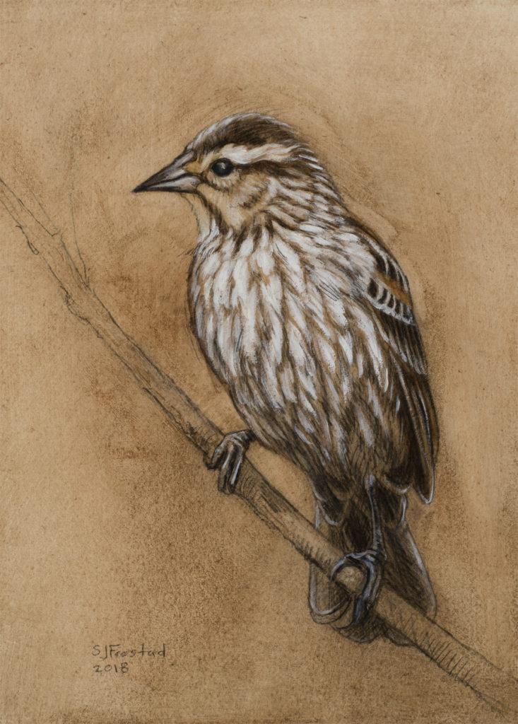 "Red-wing Blackbird, 2018. Graphite & oil on art board, 8x6"". Sold"