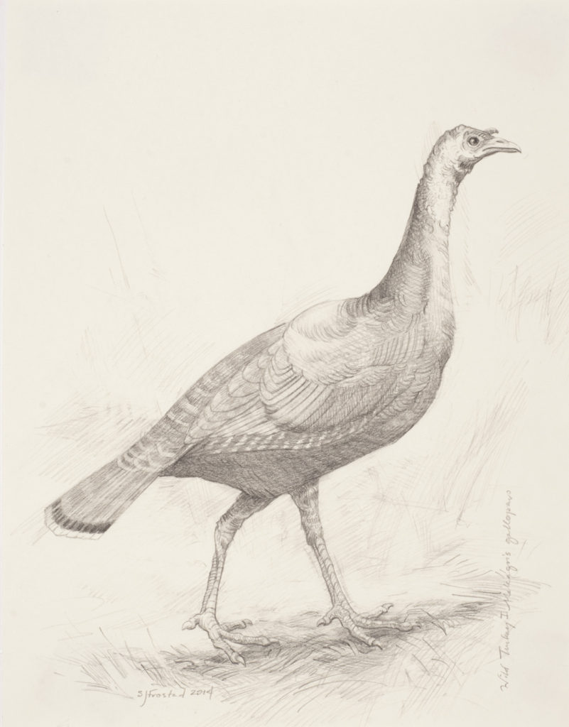 """Wild Turkey I, 2014. Graphite on paper, 10x8"""" Sold"""