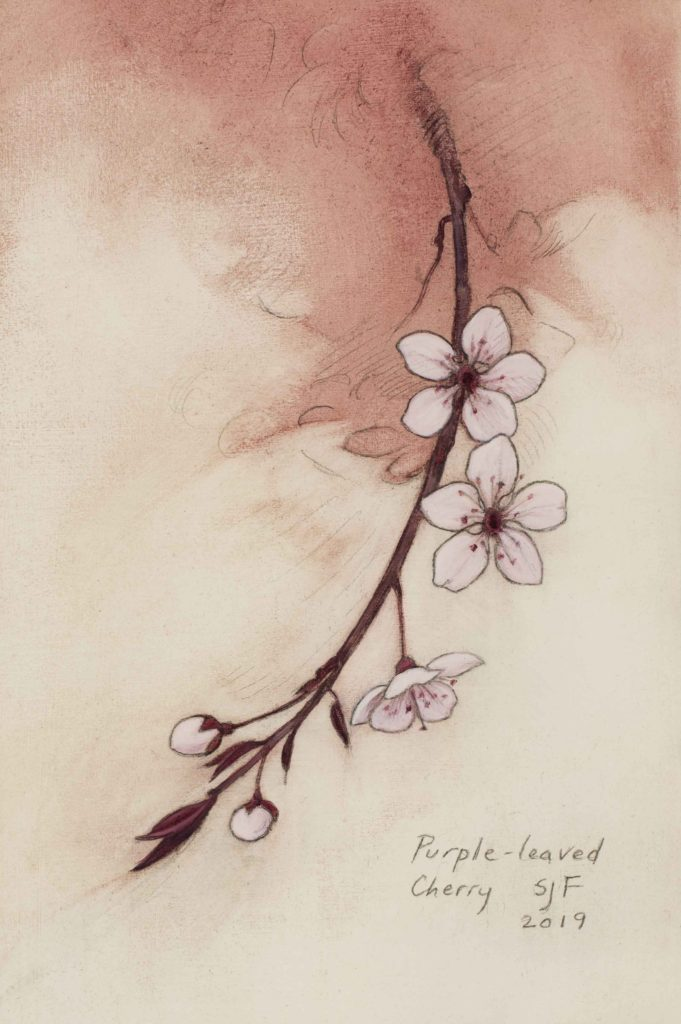 "Purple-leaved Cherry, 2019. Graphite & oil on art board, 6x4"". Sold"