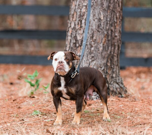 Old English Bulldog Adult Dog Charlotte