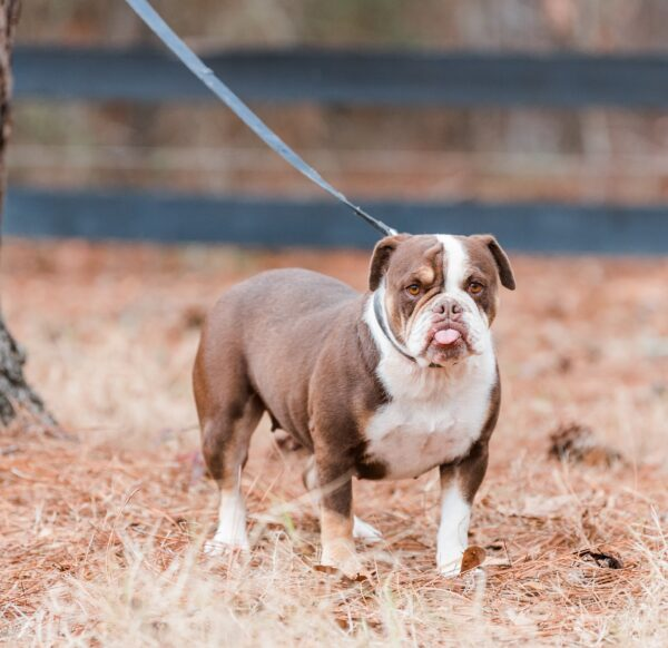 Old English Bulldog Adult Dog Mae
