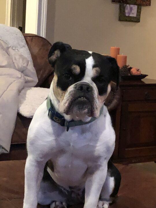 Old English Bulldog Adult Dog Gracie