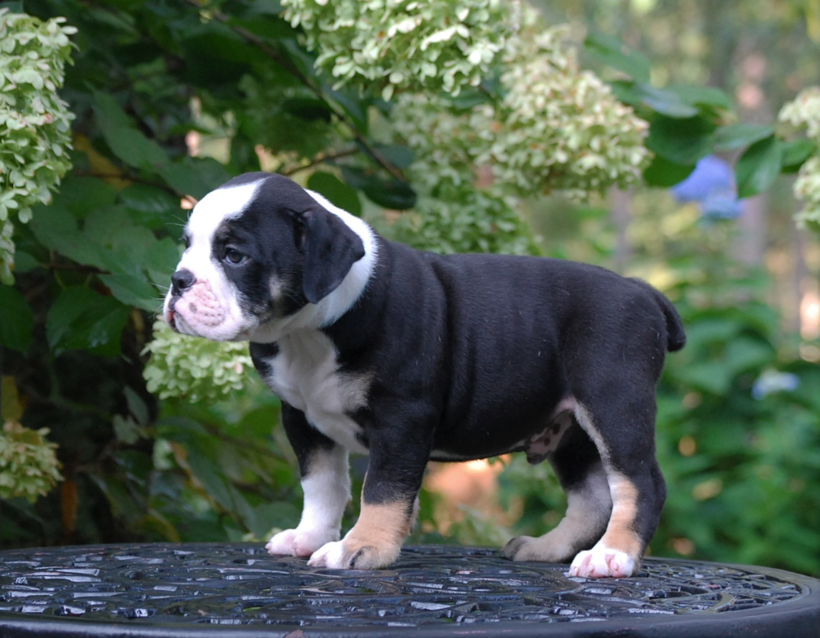 Crosby Olde English Bulldogge Puppy For Sale | Photo 1