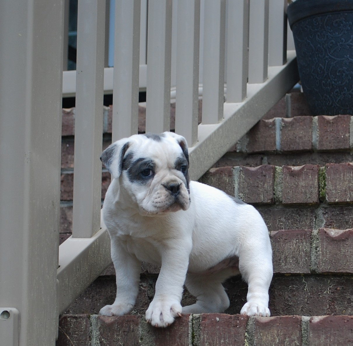 Izzy Olde English Bulldogge Puppy For Sale   Photo 1