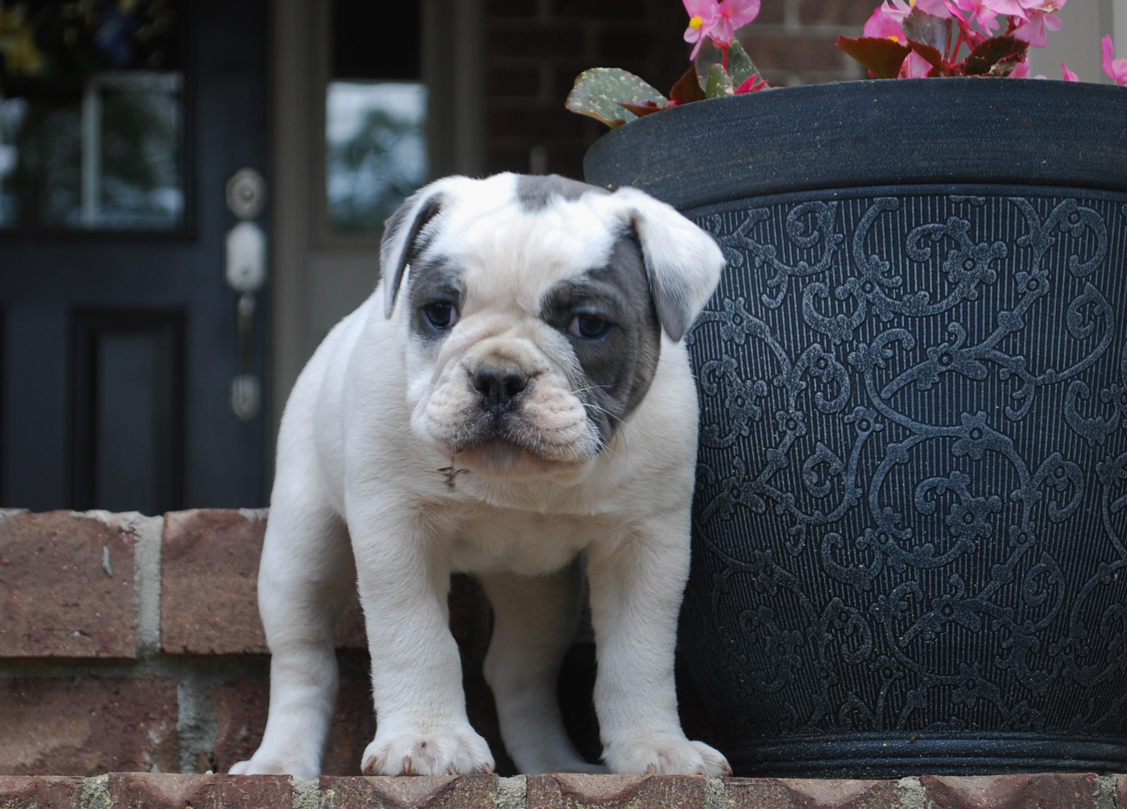 Izzy Olde English Bulldogge Puppy For Sale | Photo 2