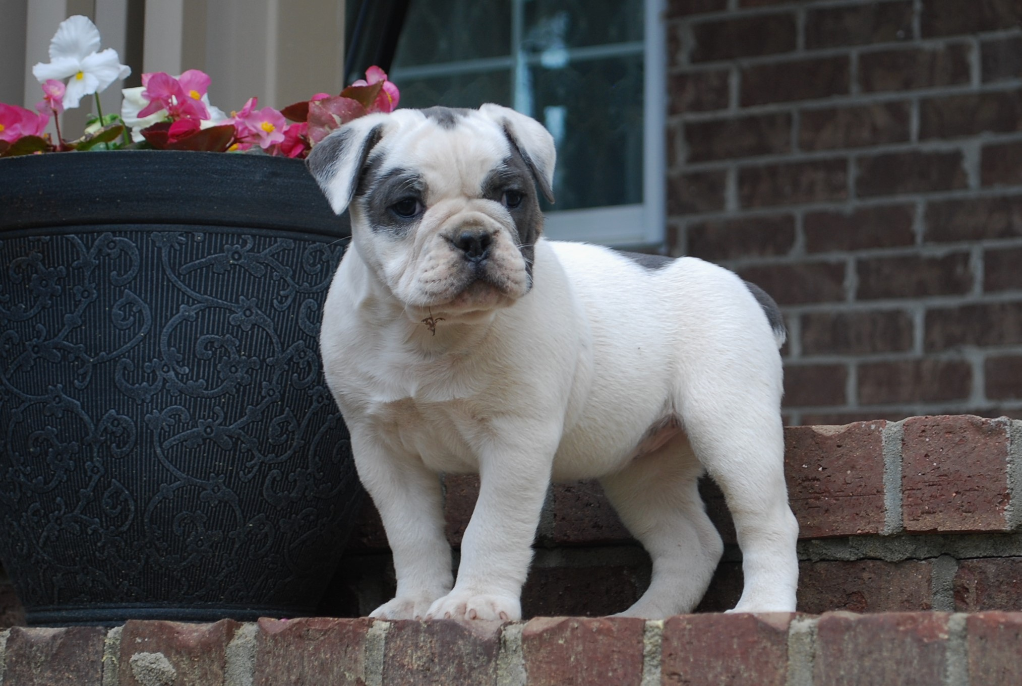Izzy Olde English Bulldogge Puppy For Sale | Photo 3