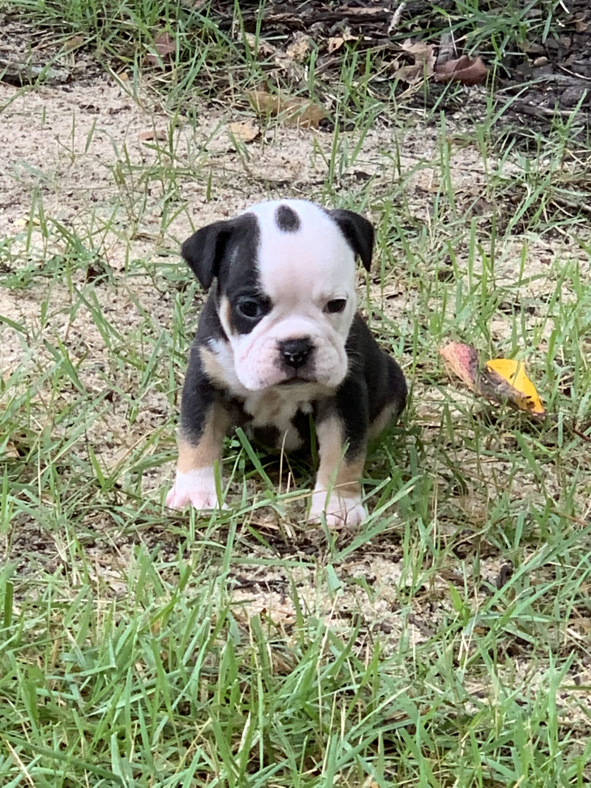 Sweet Kayla (SOLD) Olde English Bulldogge Puppy For Sale | Photo 1