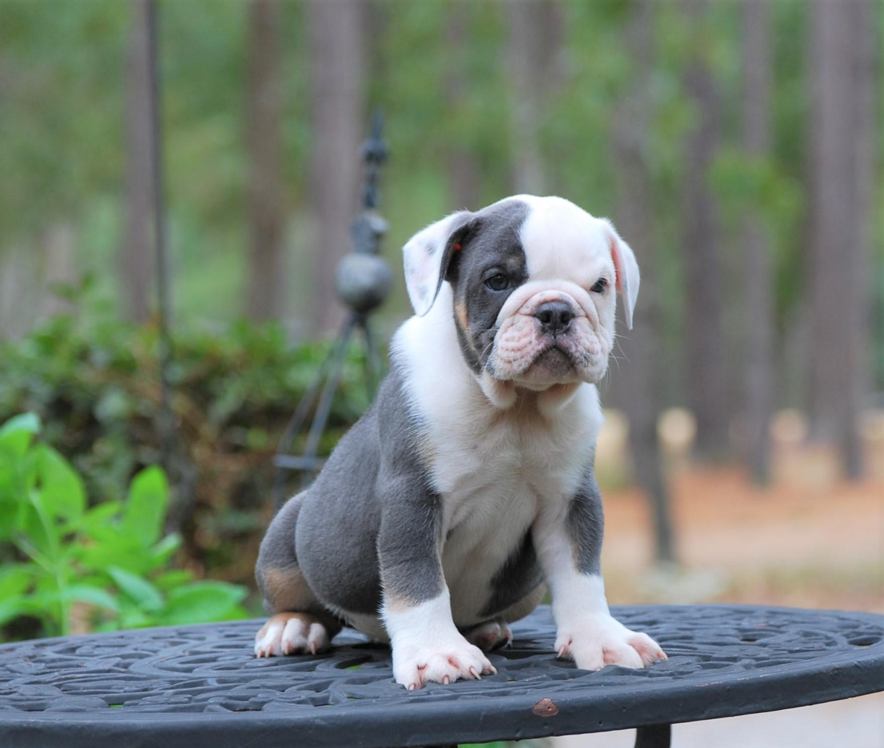 Titan (Sold) Olde English Bulldogge Puppy For Sale | Photo 2
