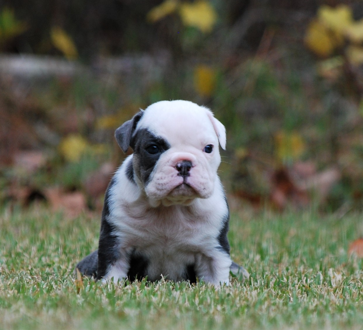 Angel Olde English Bulldogge Puppy For Sale | Photo 2
