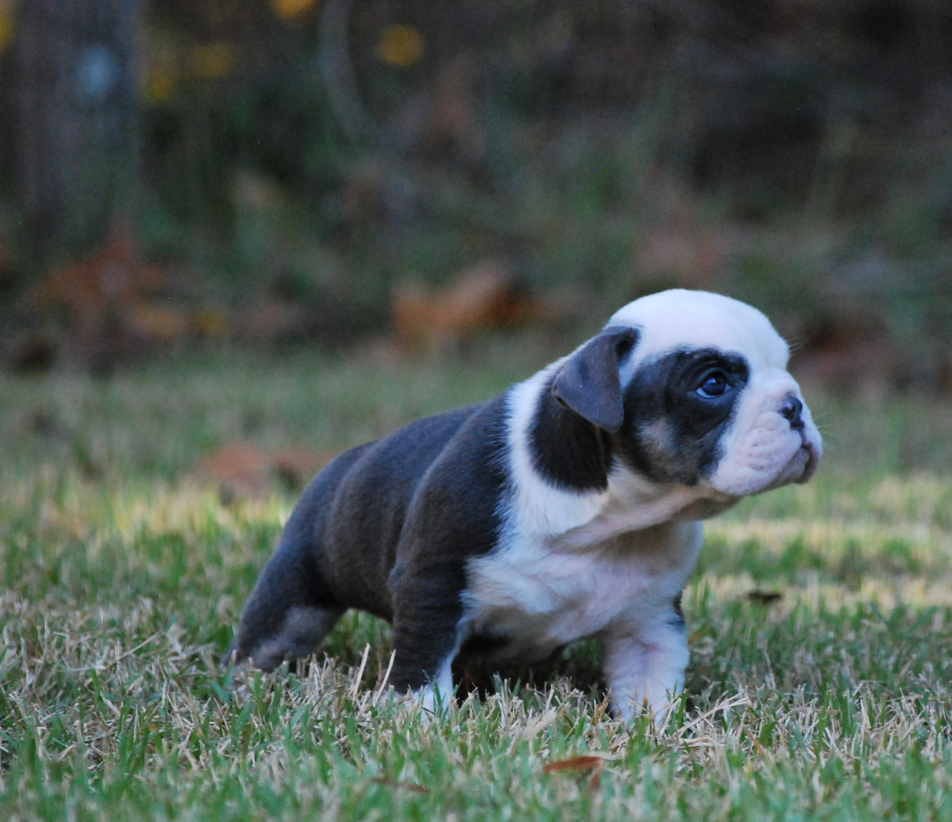 Angel Olde English Bulldogge Puppy For Sale | Photo 4