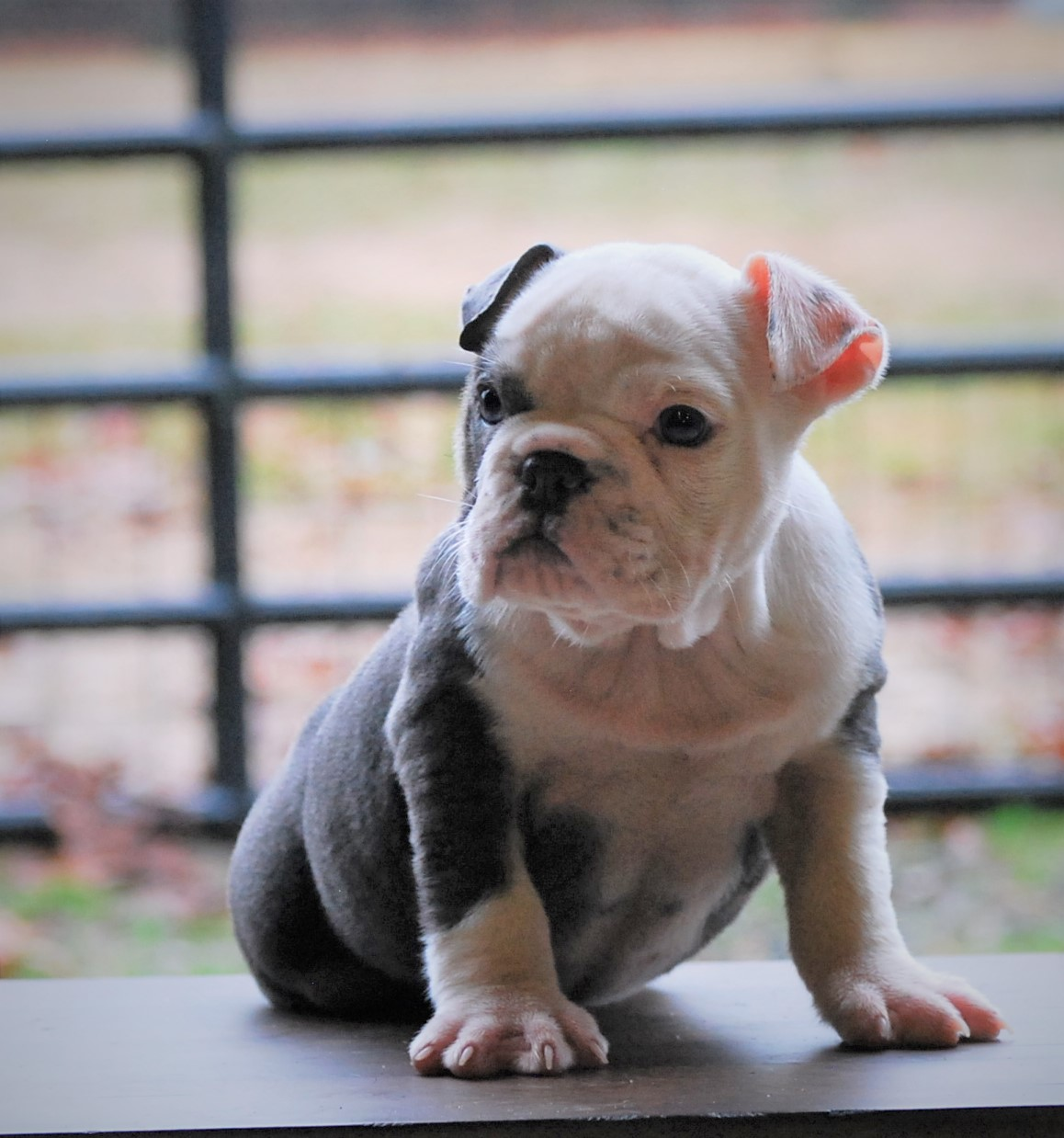 Angel Olde English Bulldogge Puppy For Sale | Photo 0