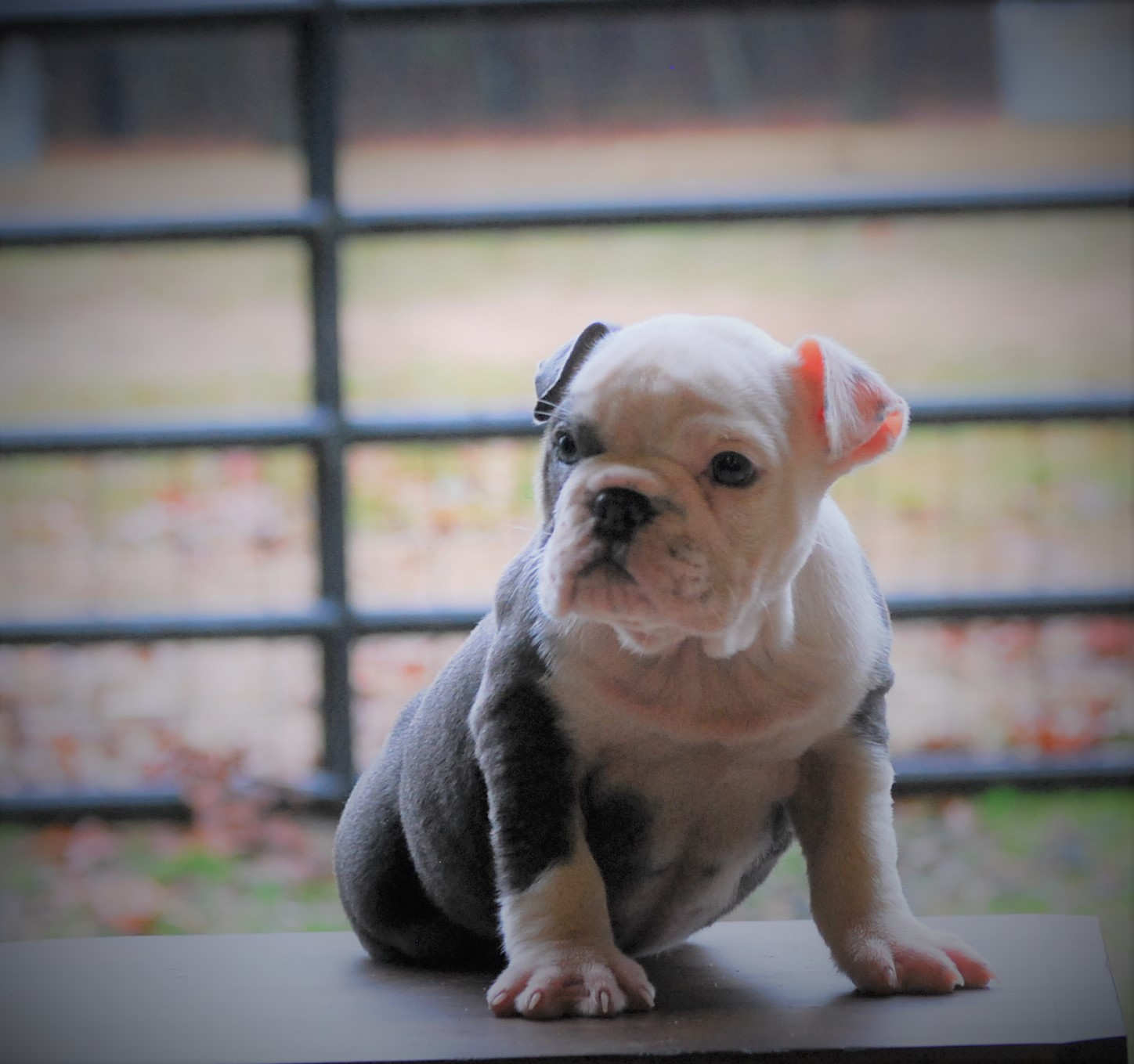 Angel Olde English Bulldogge Puppy For Sale | Photo 3