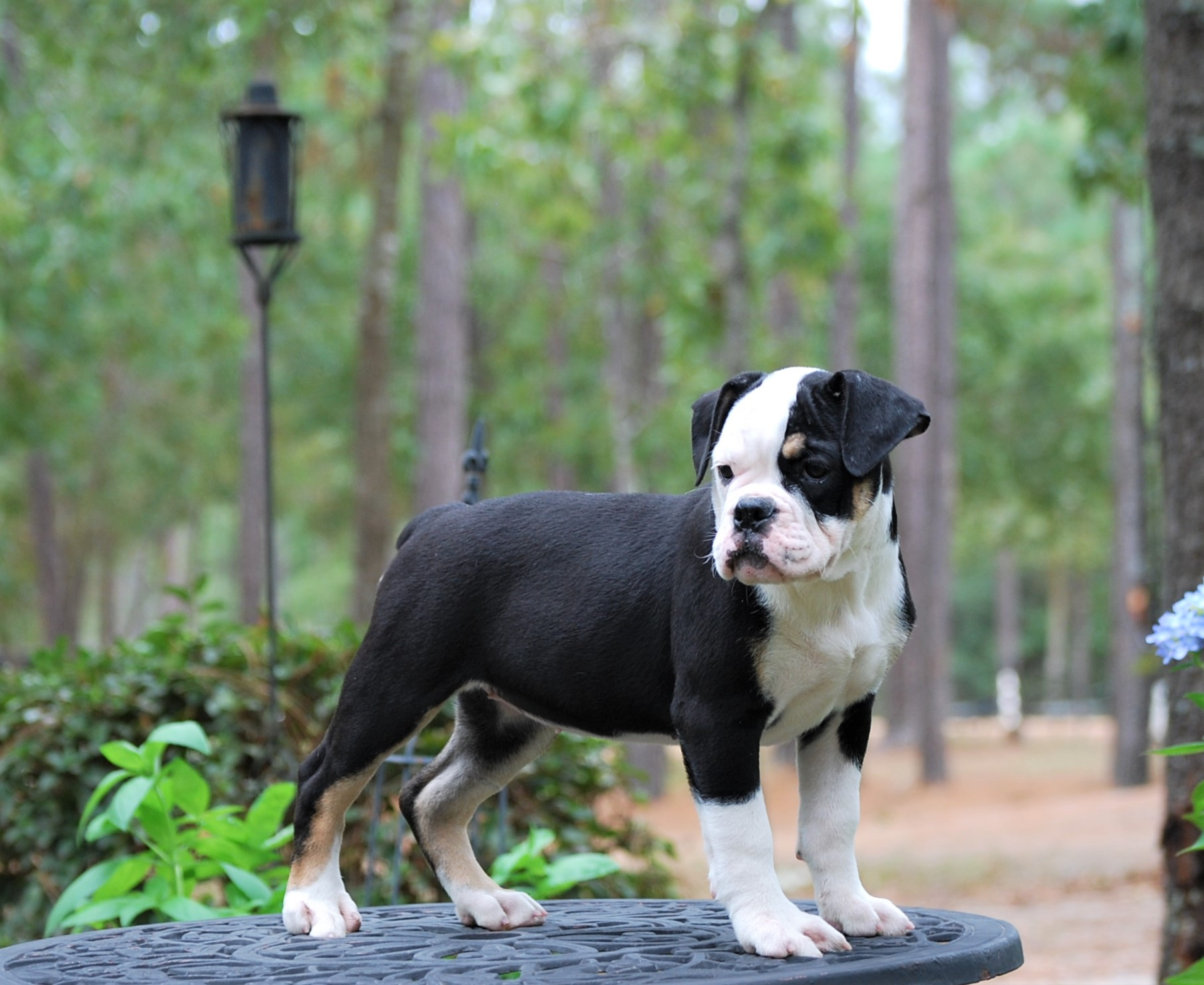 Callie Olde English Bulldogge Puppy For Sale | Photo 2