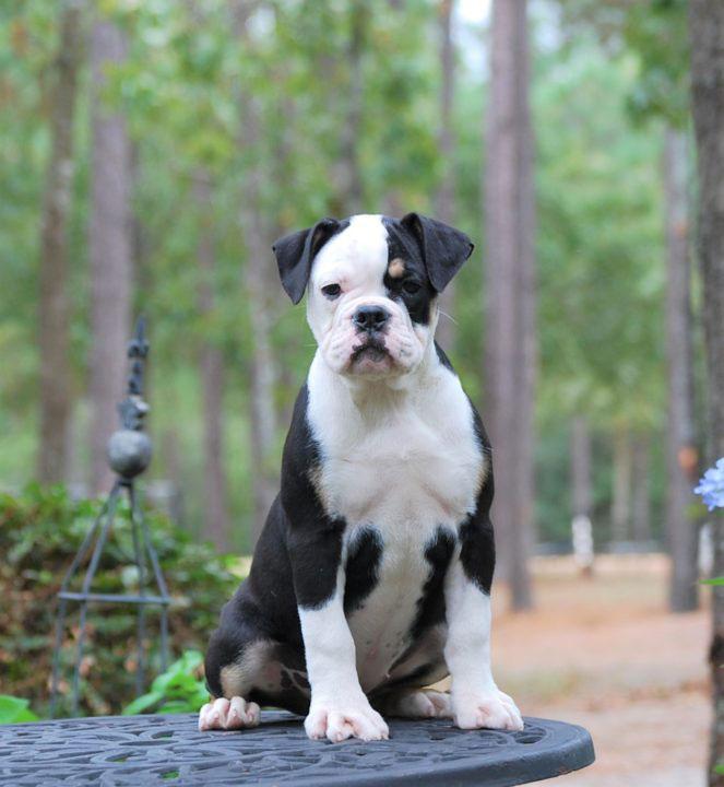 Old English Bulldog Adult Dog Callie