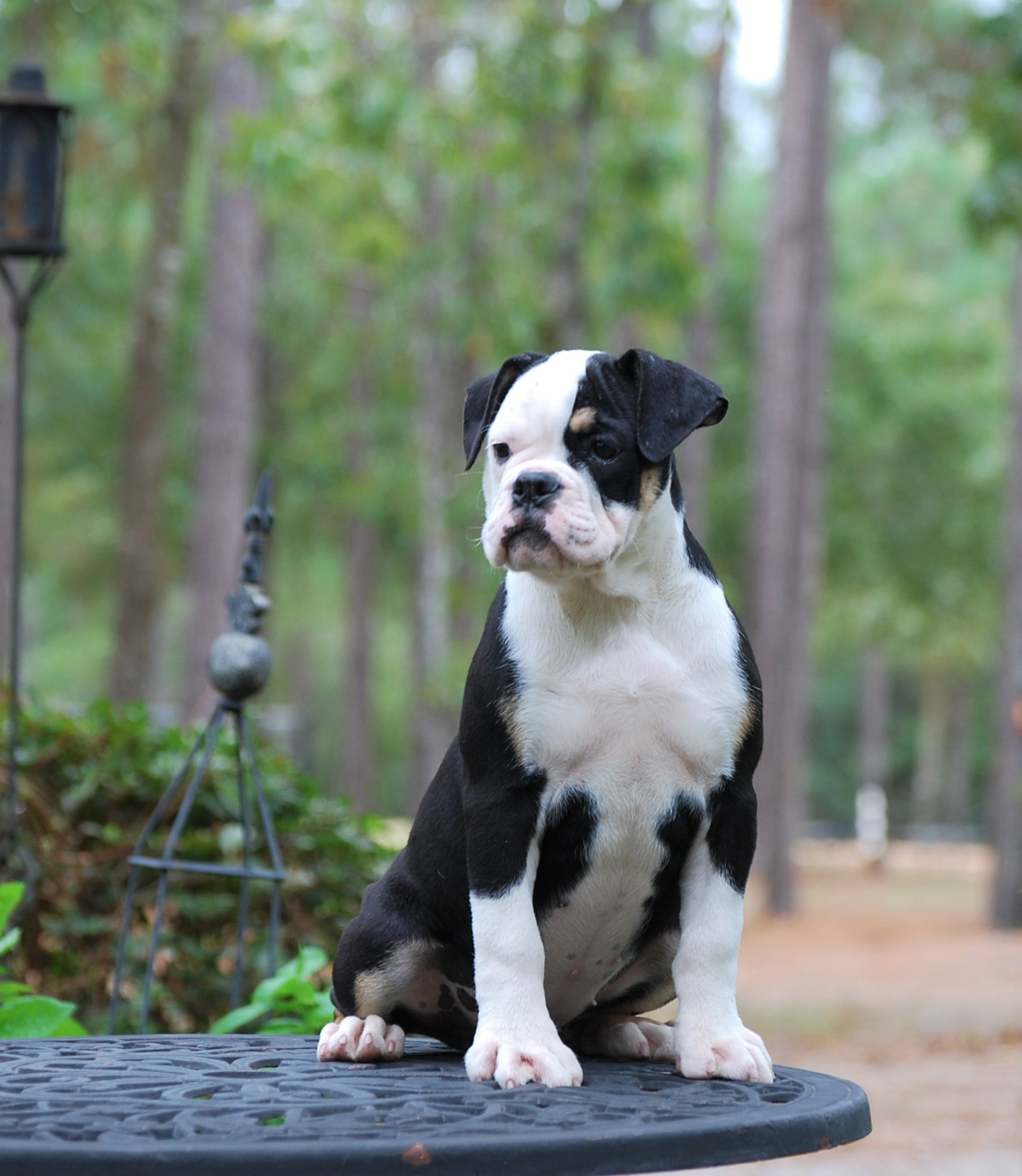 Callie Olde English Bulldogge Puppy For Sale | Photo 4