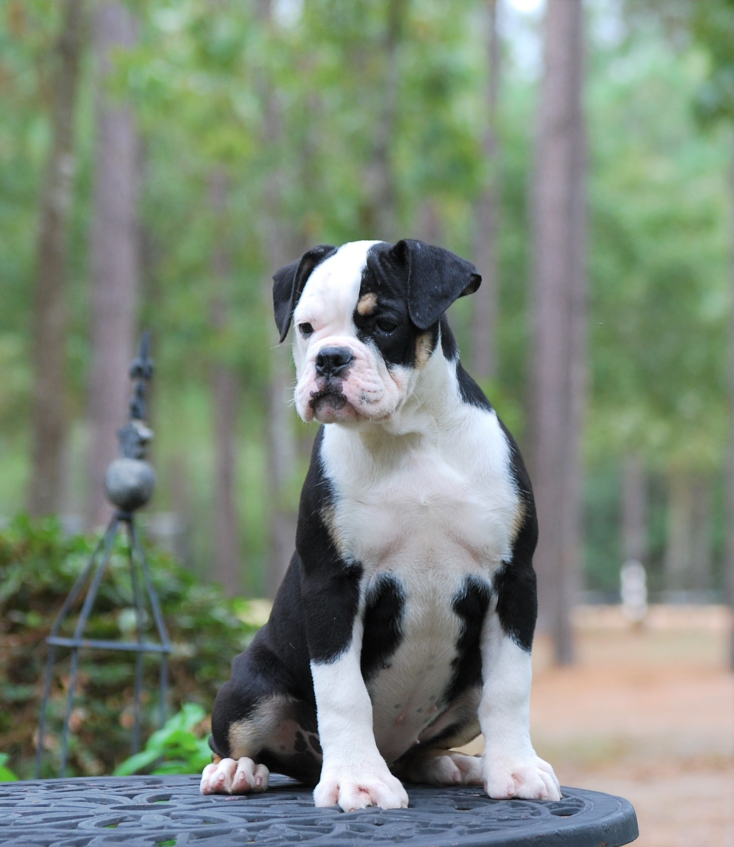 Callie Olde English Bulldogge Puppy For Sale | Photo 5