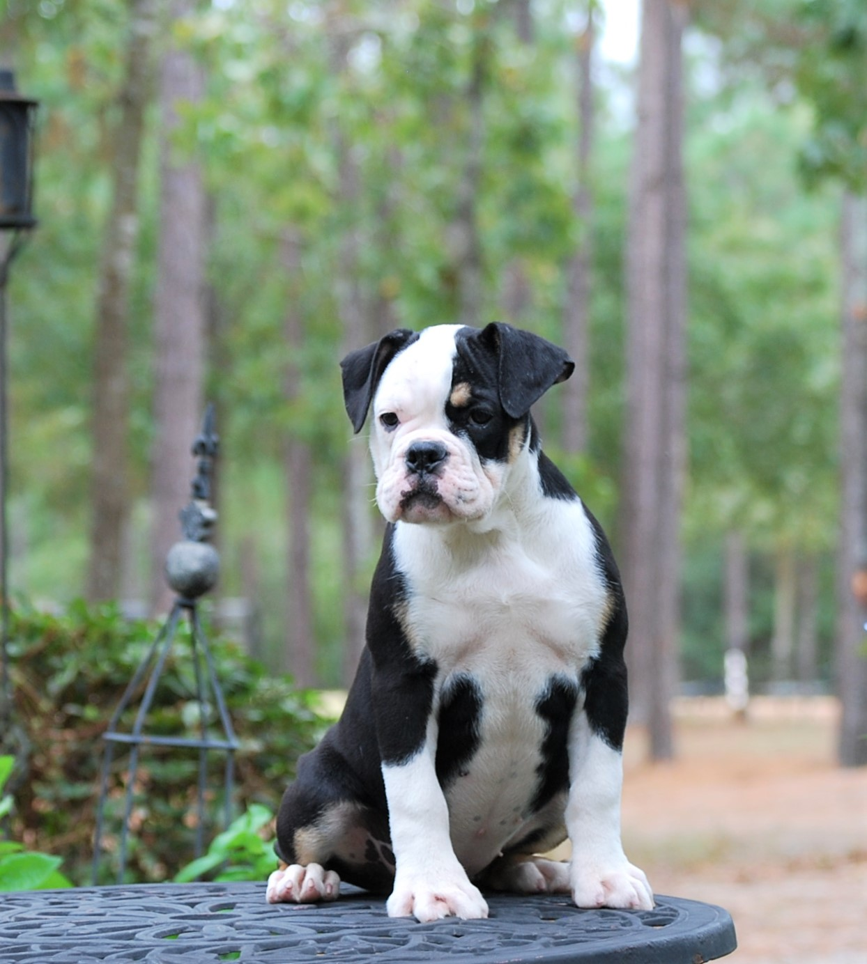 Callie Olde English Bulldogge Puppy For Sale | Photo 6