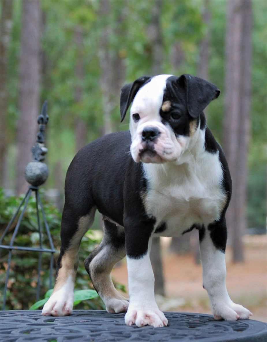 Callie Olde English Bulldogge Puppy For Sale | Photo 7