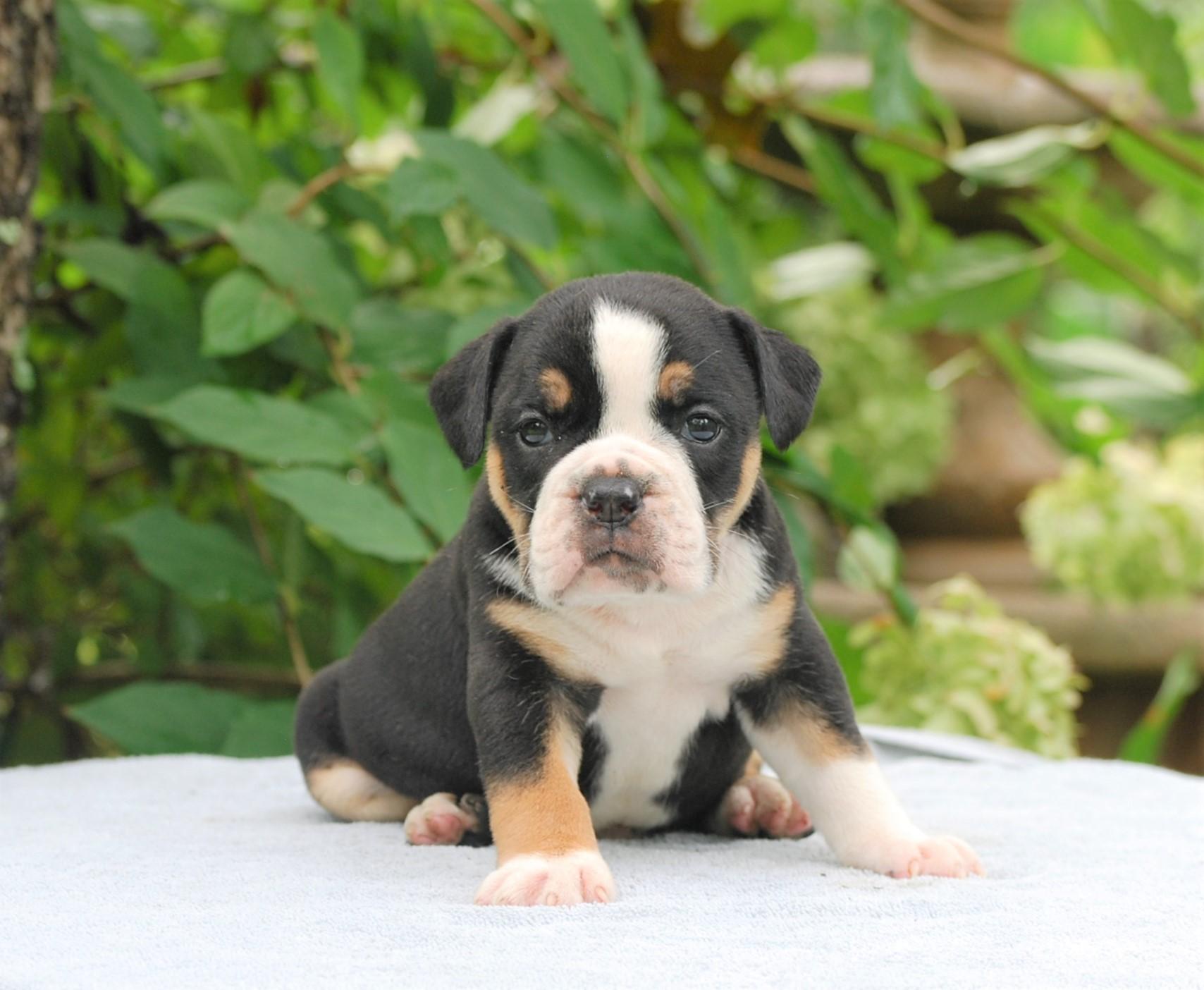 Calvin Olde English Bulldogge Puppy For Sale   Photo 1