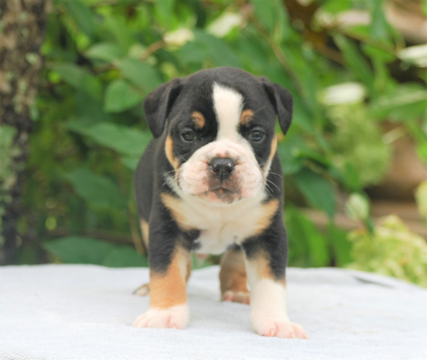 Calvin Olde English Bulldogge Puppy For Sale   Photo 2