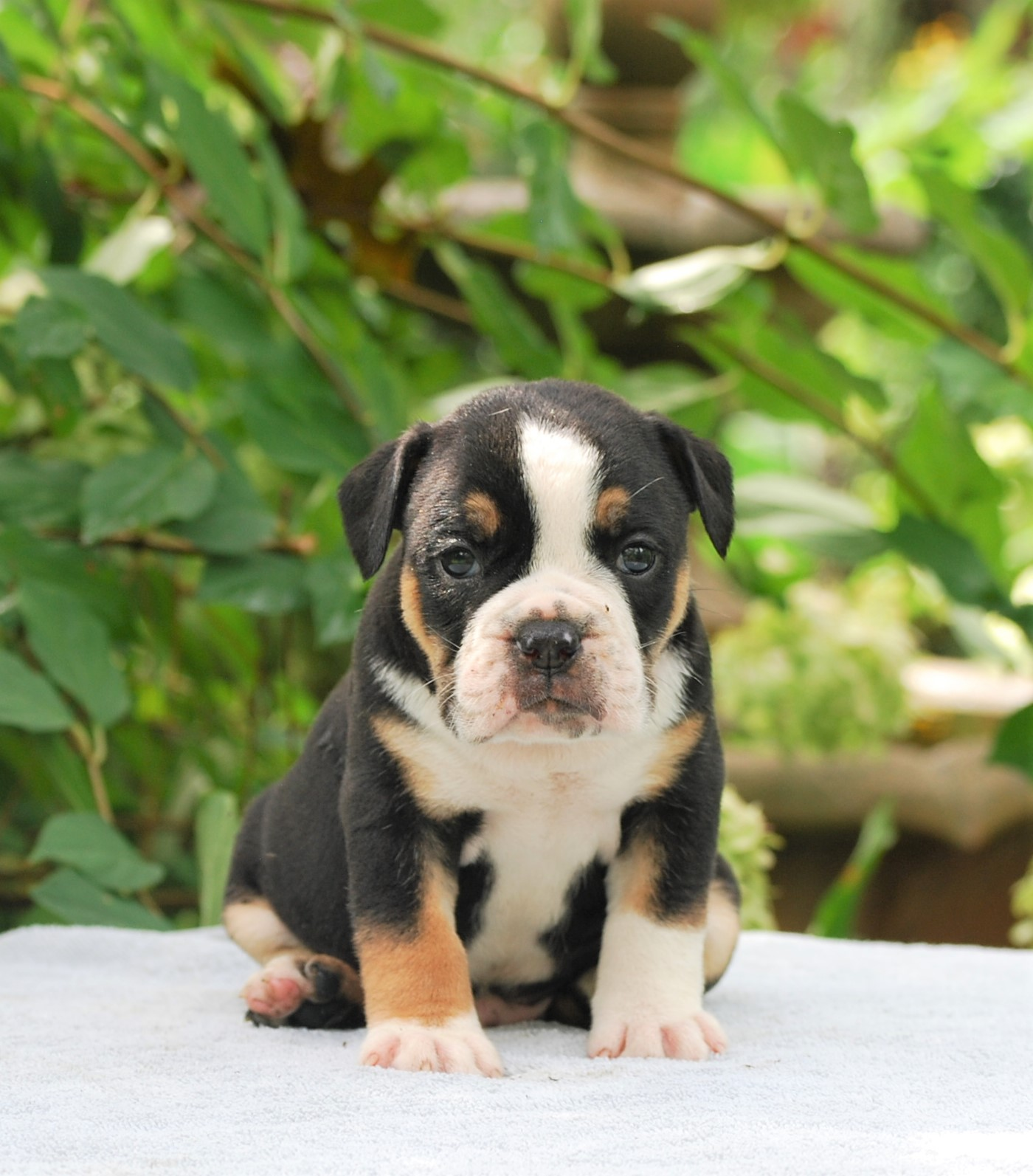 Calvin Olde English Bulldogge Puppy For Sale   Photo 3