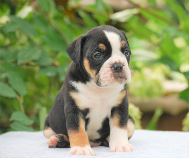 Old English Bulldog Adult Dog Calvin