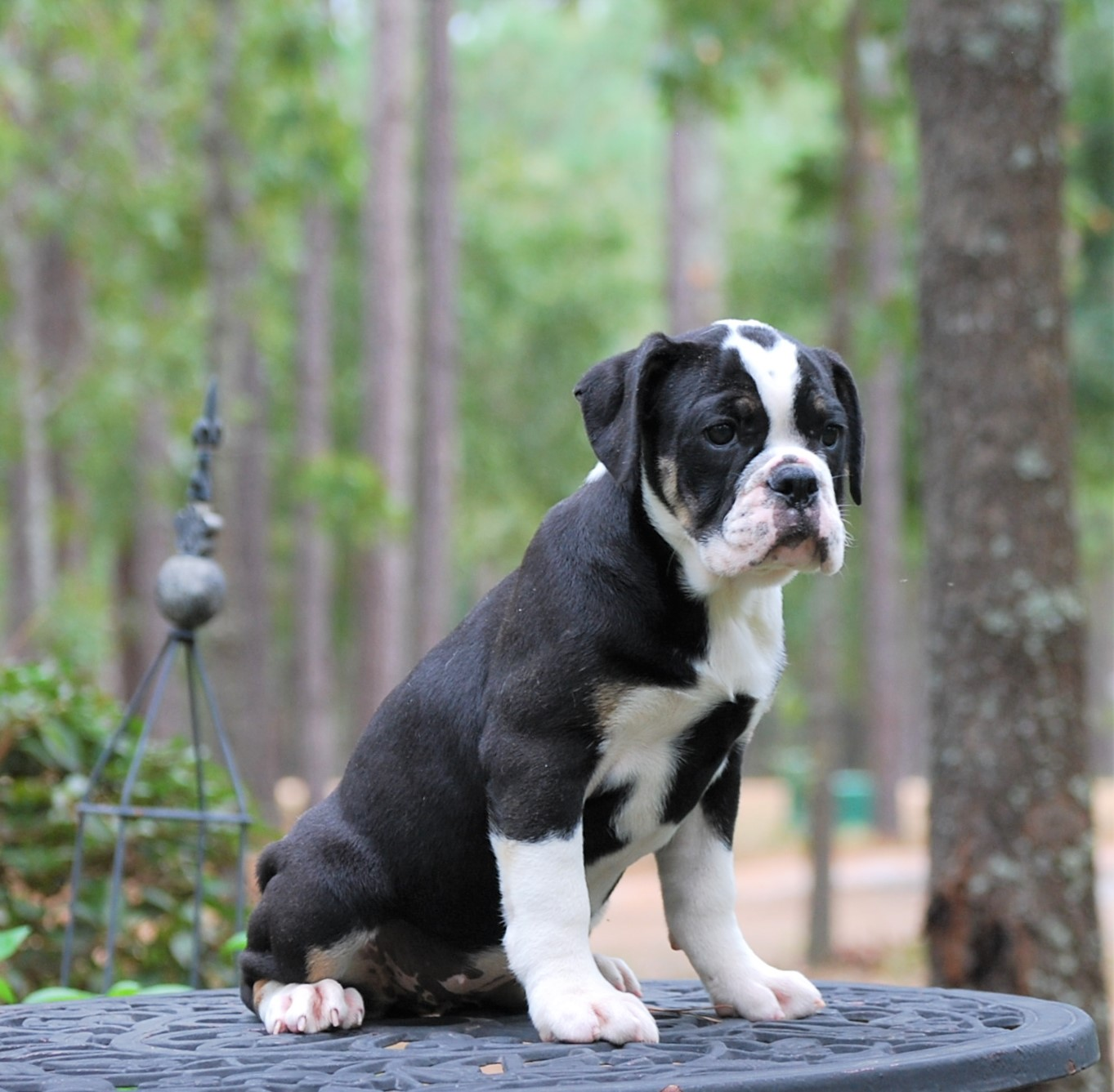Chloe Olde English Bulldogge Puppy For Sale | Photo 1