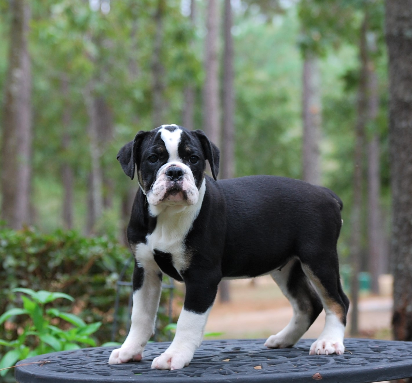 Chloe Olde English Bulldogge Puppy For Sale | Photo 8
