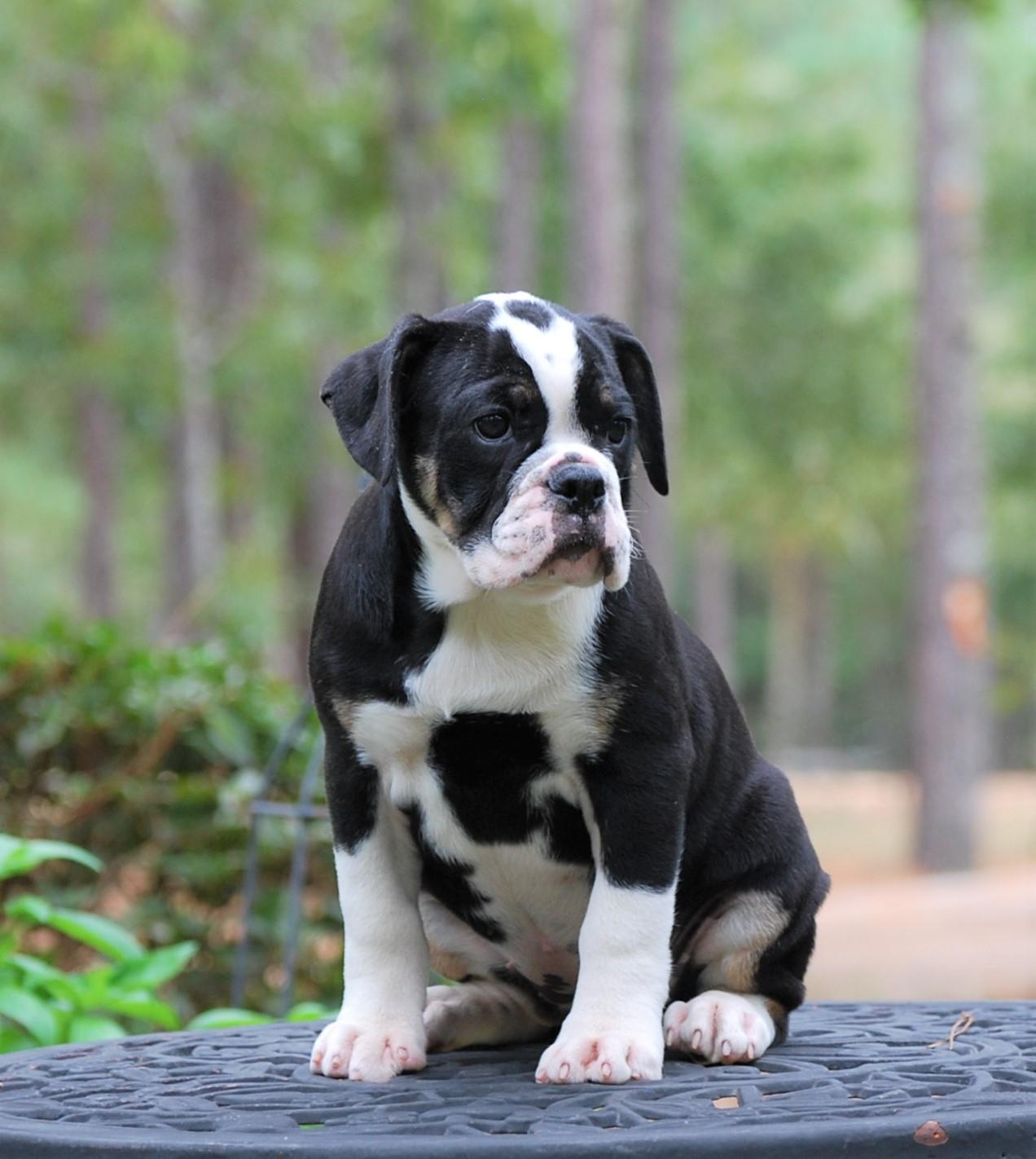 Chloe Olde English Bulldogge Puppy For Sale | Photo 0