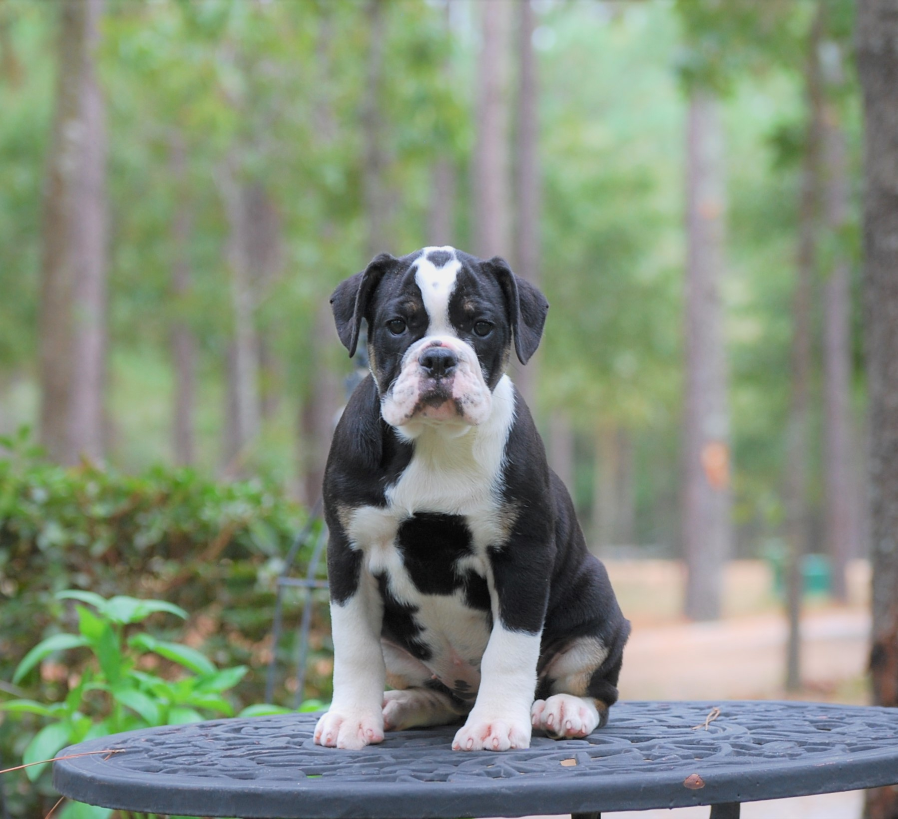 Chloe Olde English Bulldogge Puppy For Sale | Photo 2