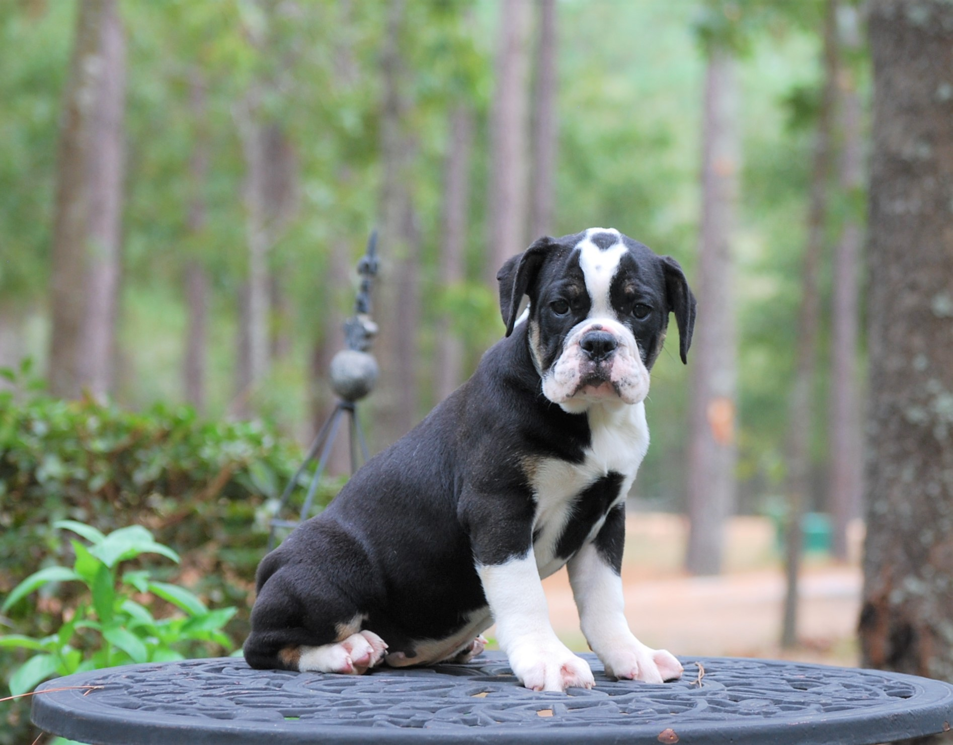 Chloe Olde English Bulldogge Puppy For Sale | Photo 7