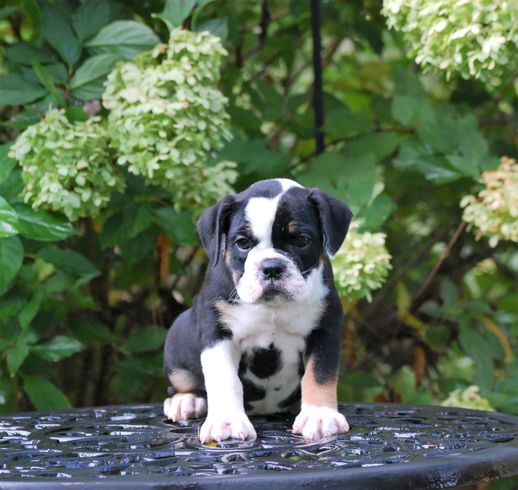 Old English Bulldog Puppy Clara