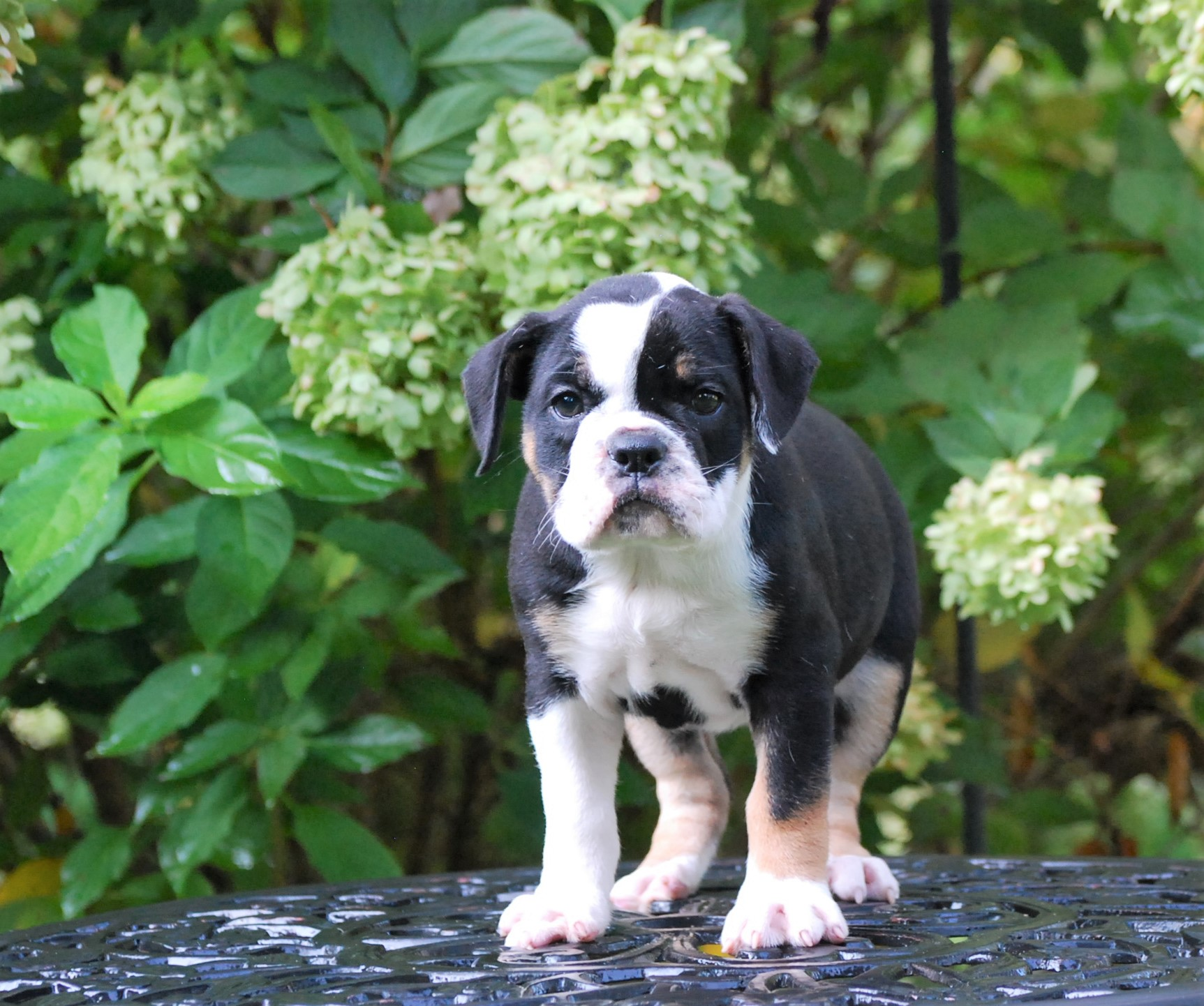 Clara Olde English Bulldogge Puppy For Sale   Photo 3