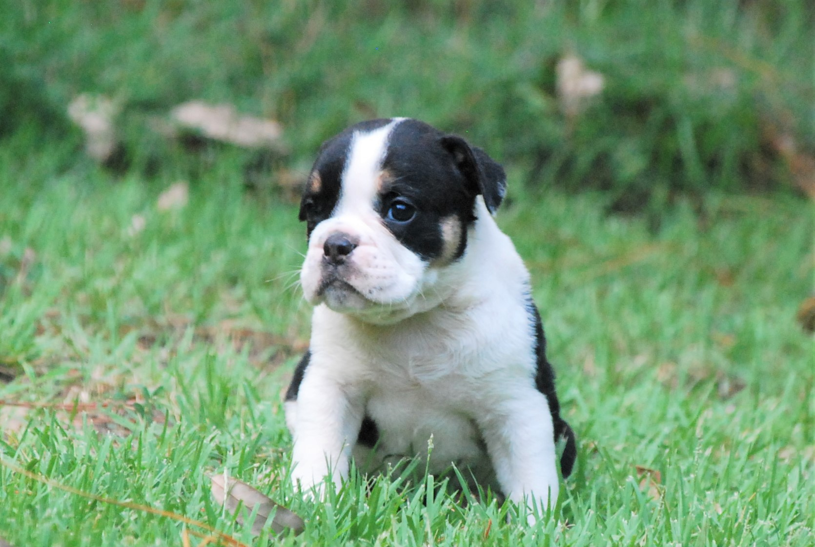 Clementine Olde English Bulldogge Puppy For Sale | Photo 1